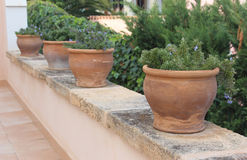 Rosemary in terracotta pots Stock Image