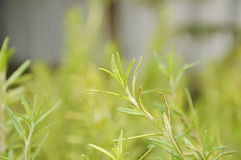 Rosemary tree growth in garden Royalty Free Stock Image