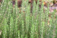 Rosemary trees at organic vegetable Royalty Free Stock Photos