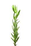 Rosemary twig Royalty Free Stock Photos