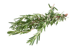 Rosemary twig Royalty Free Stock Images