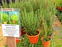 Rosemary - usines mises en pot Photo stock