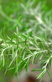 Rosemary-Vertical Stock Images