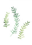 Rosemary watercolor illustration painted with brush Royalty Free Stock Photo