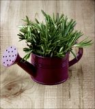 Rosemary in Watering Can Stock Image