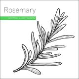 Rosemary white. Organic rosemary product flavor ingredient.  Culinary spice herb for cooking, food, medical, gardening design Stock Images