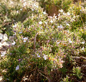 Rosemary wild blooming summer on the rocks Royalty Free Stock Photo