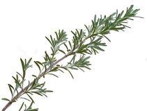 Rosemary-Zweig lokalisiert auf weißem Hintergrund Lizenzfreie Stockfotografie