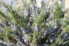 Rosemay. Rosemary bush in full bloom Royalty Free Stock Photos
