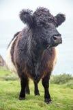 Rosemergy e bosigran in Cornovaglia Regno Unito Inghilterra Fotografia Stock Libera da Diritti