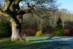 Rosemoor RHS Garden, Great Torrington, Devon. Tree, Shadow, Dogwoods and Frost, Rosemoor RHS Garden, Great Torrington, Devon in Winter Royalty Free Stock Image