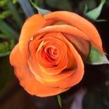 Rosen arkivfoto