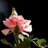Rosen Royaltyfri Bild
