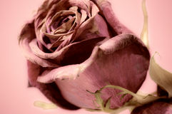 rosen Lizenzfreies Stockfoto