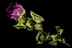 Rosen Royaltyfri Fotografi