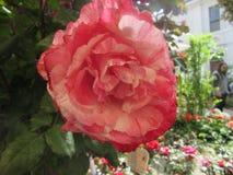 Rosen Royaltyfria Foton