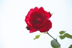 rosen Lizenzfreies Stockbild