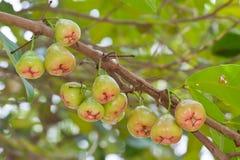 Rosen-Apfel auf Baum Lizenzfreies Stockfoto