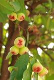 Rosen-Apfelfrucht von Thailand Lizenzfreie Stockbilder