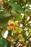 Rosen-Apfelfrucht von Thailand Lizenzfreie Stockfotografie