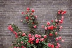 Rosen auf Backsteinmauer Lizenzfreies Stockfoto