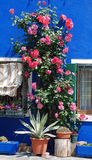 Rosen auf Burano lizenzfreies stockfoto