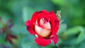 Rosen auf dem Stadtblumenbeet Lizenzfreie Stockfotografie