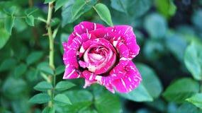 Rosen auf dem Stadtblumenbeet Lizenzfreies Stockbild