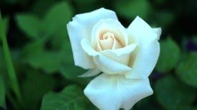 Rosen auf dem Stadtblumenbeet Stockfoto