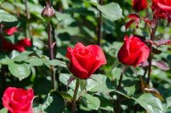 Rosen auf einem Busch Lizenzfreies Stockfoto