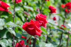 Rosen auf einem Busch Lizenzfreie Stockfotos
