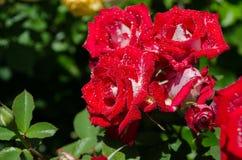 Rosen auf einem Busch Stockbild