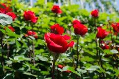 Rosen auf einem Busch Lizenzfreie Stockbilder