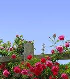 Rosen auf einem Zaun Stockbilder