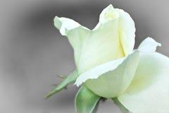 Rosen av drömmar Arkivfoto