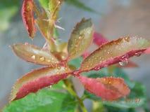 Rosen-Blätter Stockbild