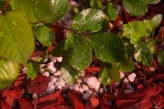 Rosen-Blätter mit Wassertropfen Stockfotografie