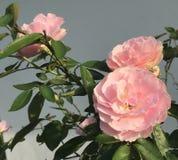Rosen-Blühen lizenzfreies stockbild