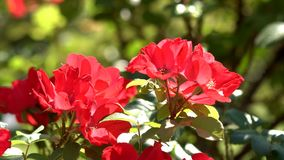 Rosen blühten im Garten stock video footage