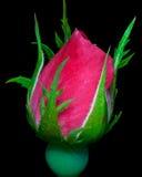 Rosen-Blüte bereit Stockbilder