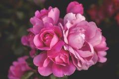 Rosen-Blüten stockbild