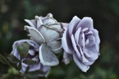 Rosen-blaues weißes frisches, Garten, Sommer blüht stockbilder