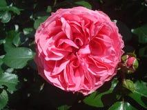 Rosen-Blume 2 Stockfoto