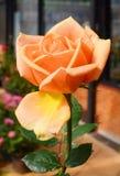 Rosen-Blume stockfoto