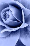 Rosen-Blume Stockfotografie