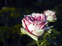 Rosen-Blume auf der Wiese stockfotos