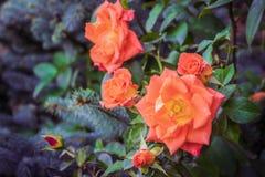 Rosen-Blume auf einem grünen Unschärfehintergrund stockbilder