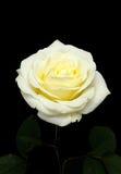 Rosen-Blume auf schwarzem Hintergrund Lizenzfreie Stockbilder