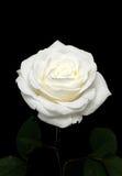 Rosen-Blume auf schwarzem Hintergrund Stockfotos