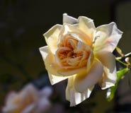 Rosen-Blume, blühend in der hellrosa Pfirsichaprikose zum sahnigen whi Lizenzfreie Stockfotos